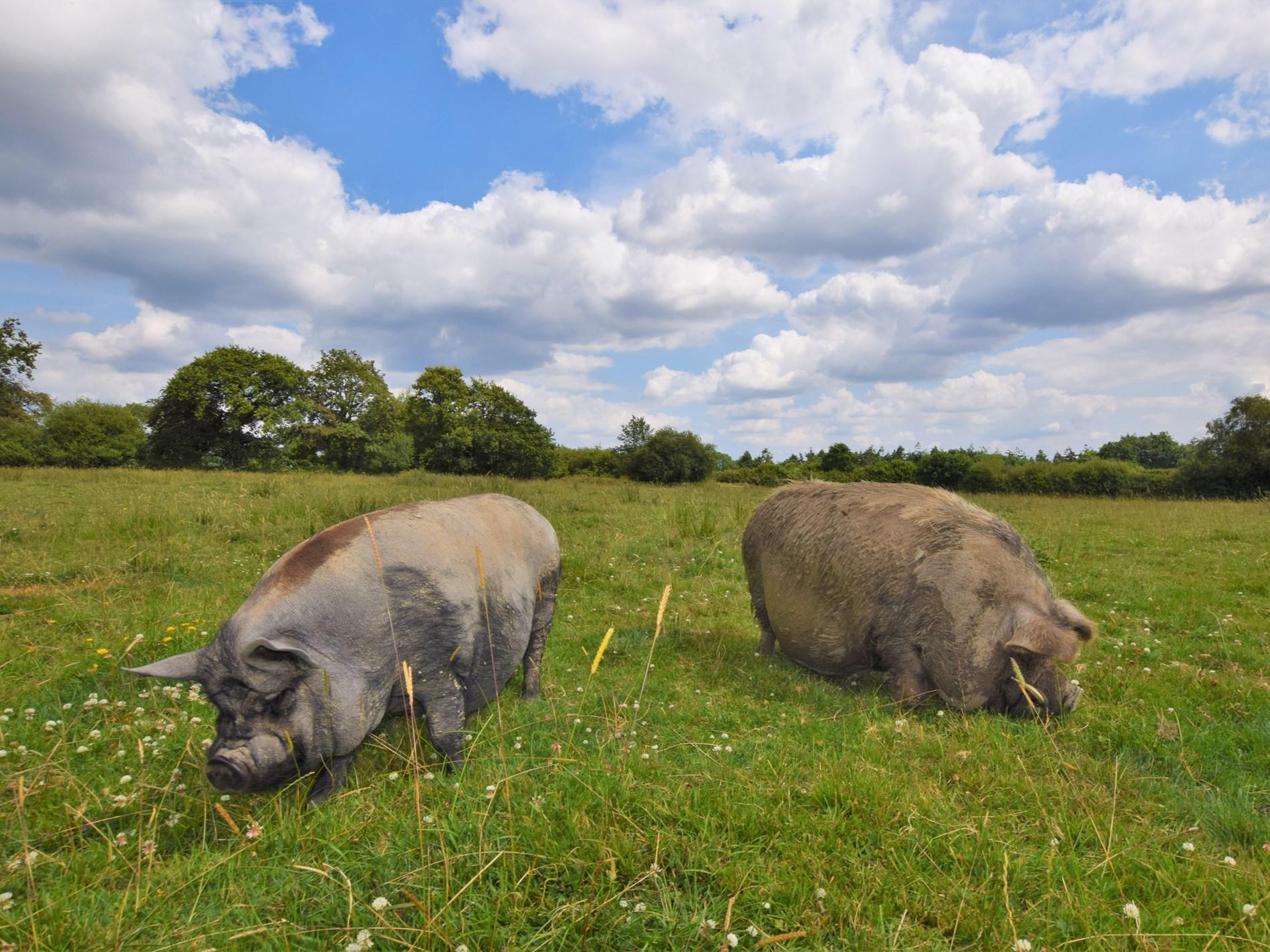 Introducing Posh & Becks, the resident pigs
