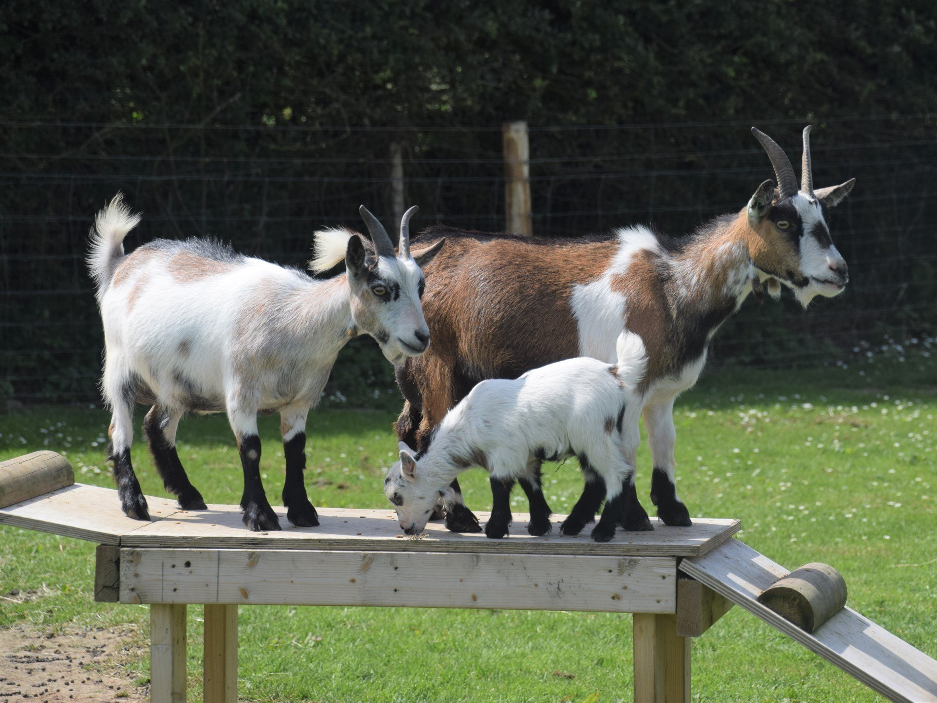 Meet the goats on site, next to the dog exercising paddock
