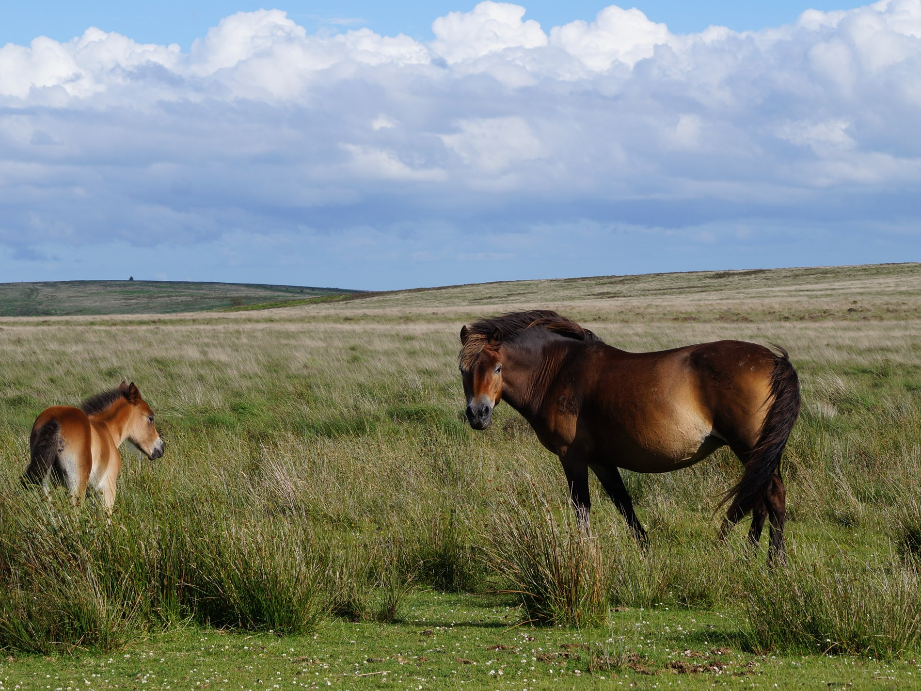 Exmoor pony foal and mum on Molland Common
