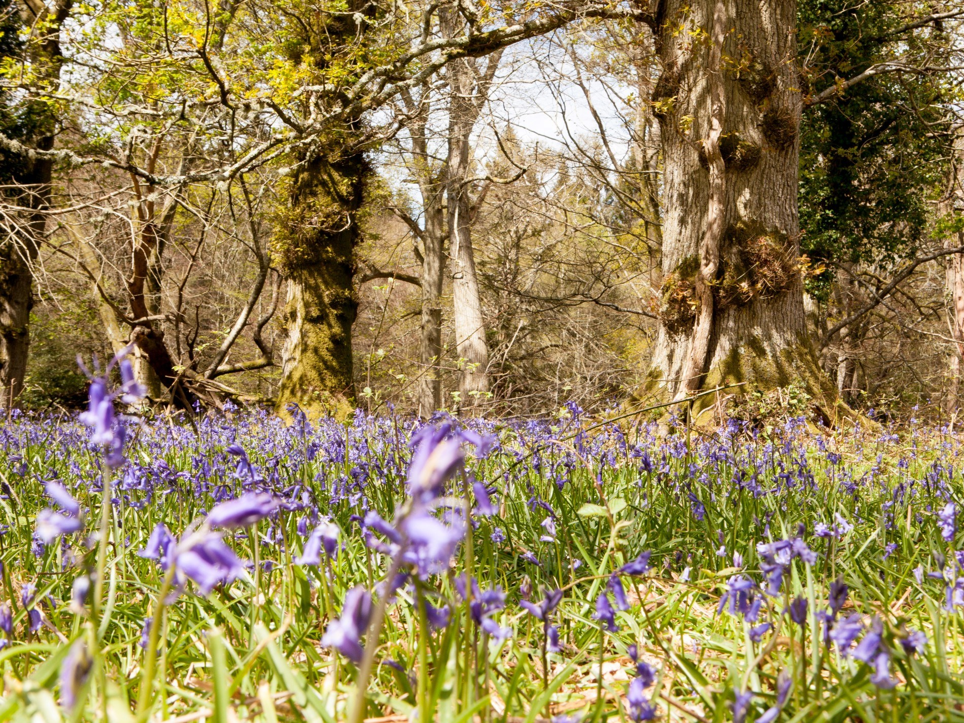 Beautiful bluebell woods to discover