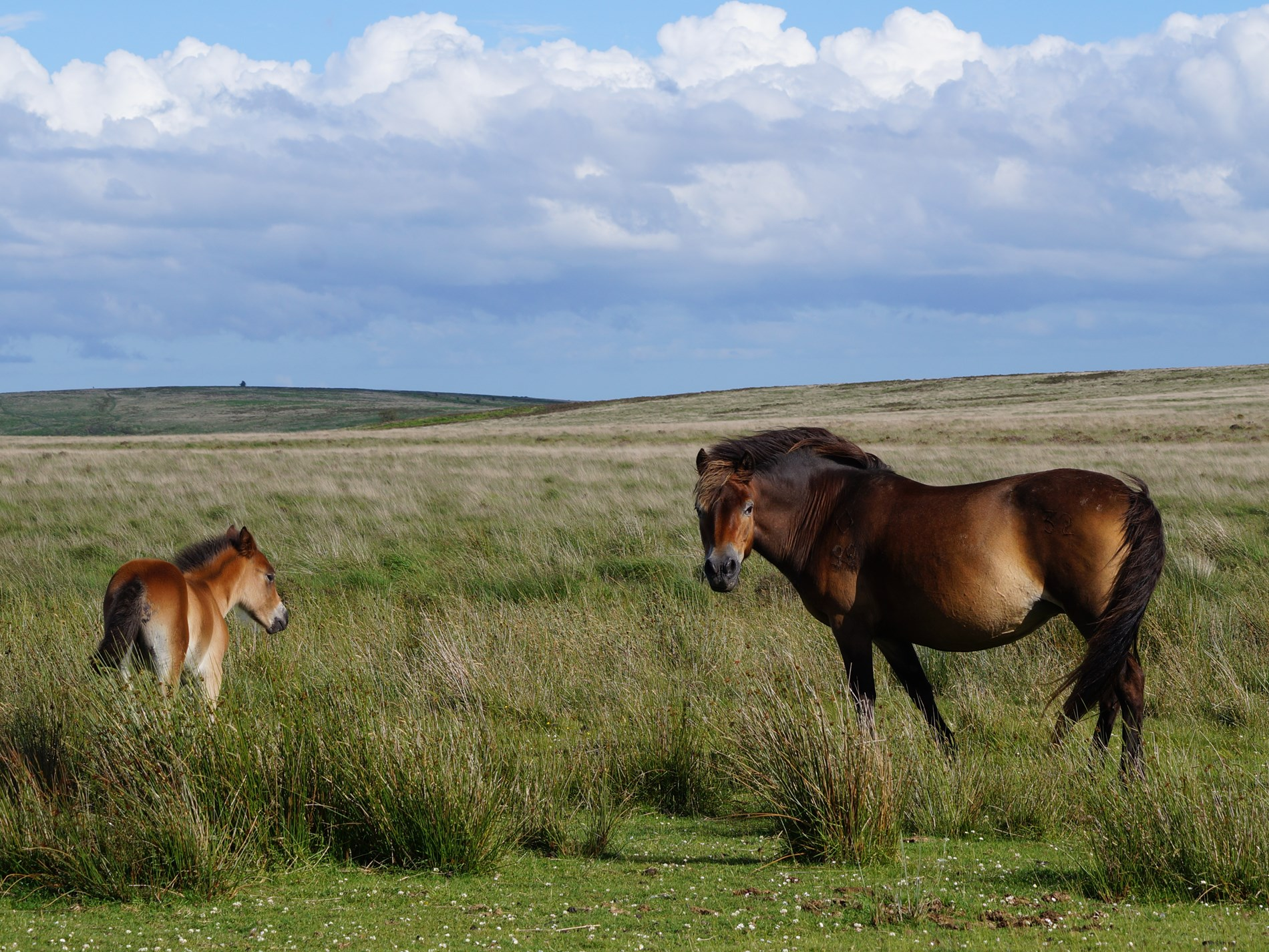 Exmoor pony foal and mum on Mollad Common