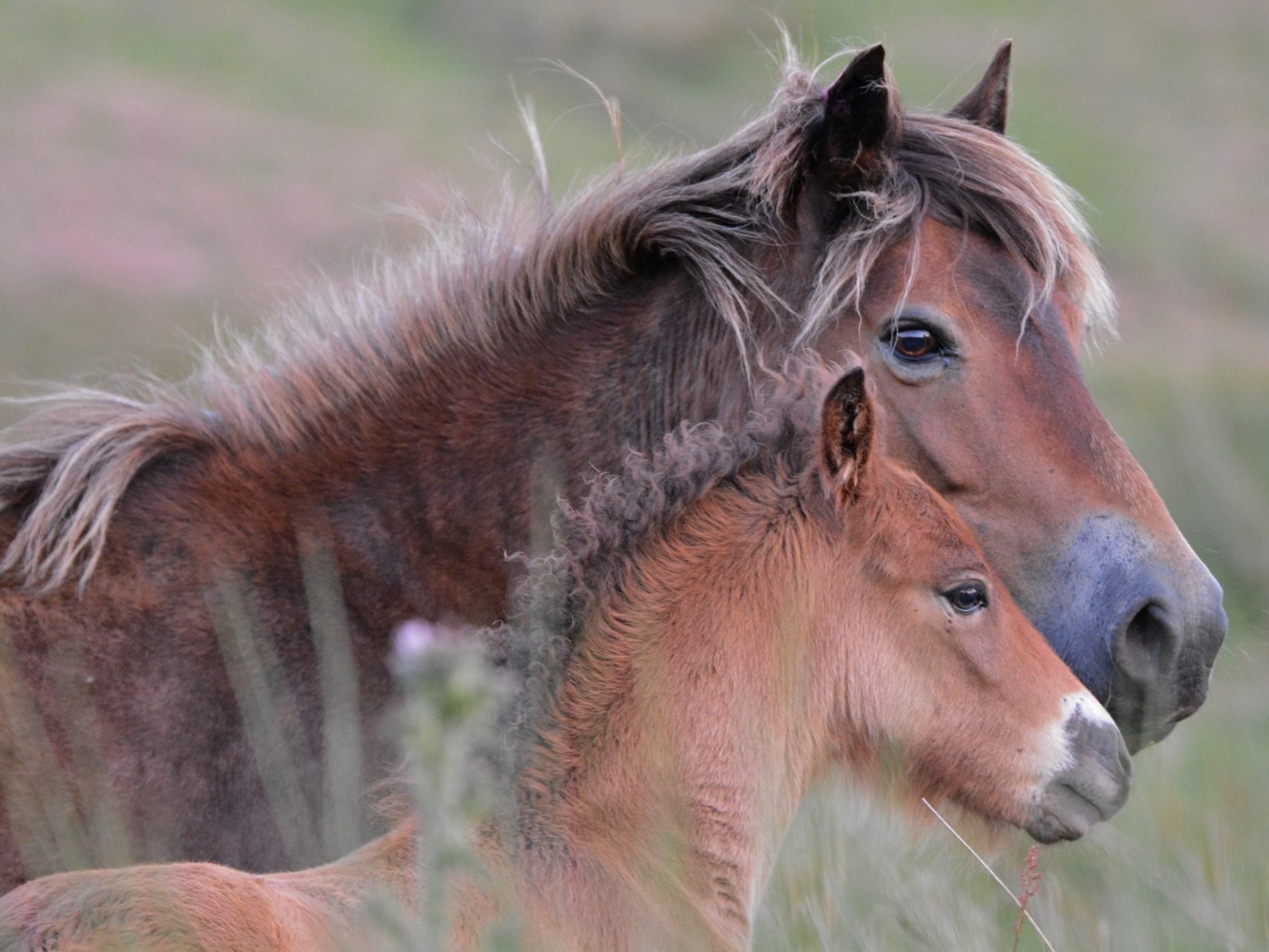 Spot the Exmoor ponies which graze over open moorland