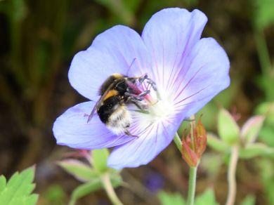 Honey Bee - Wild Meadow Cottages (75200)