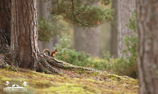 Red Squirrel in old caledonian pine forest