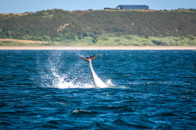 Dolphin at Chanonry Point