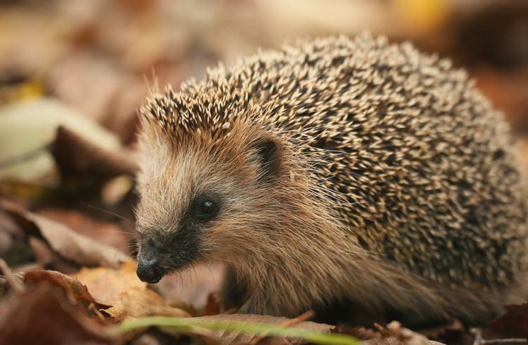 Hedgehog housing