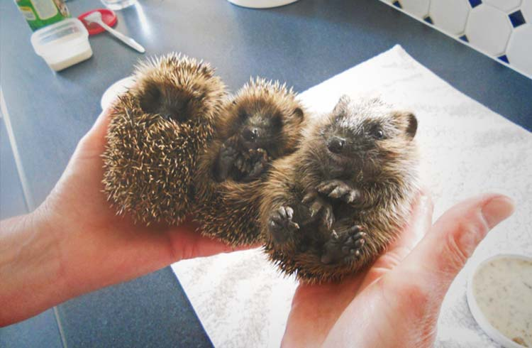 A day with North Devon Hedgehog rescue