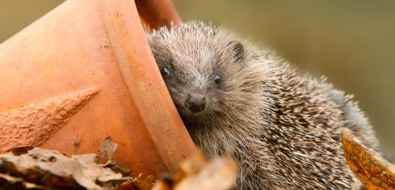 Hedgehog homes