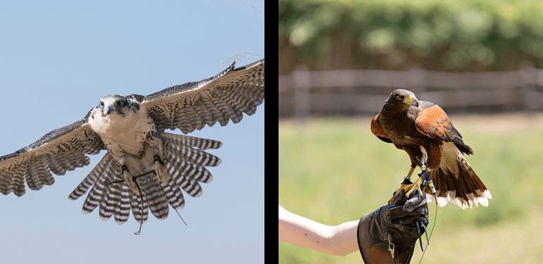 Falconry Days