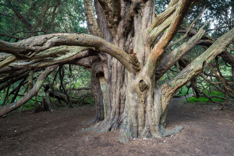 Step into the ghostly, ancient grove of Kingley Vale