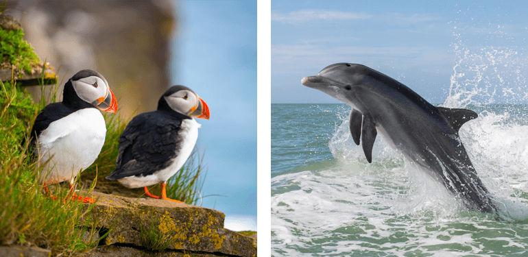 Puffins and dolphin