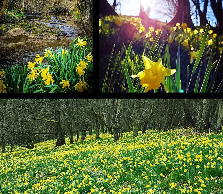 Daffodils galore in Farndale