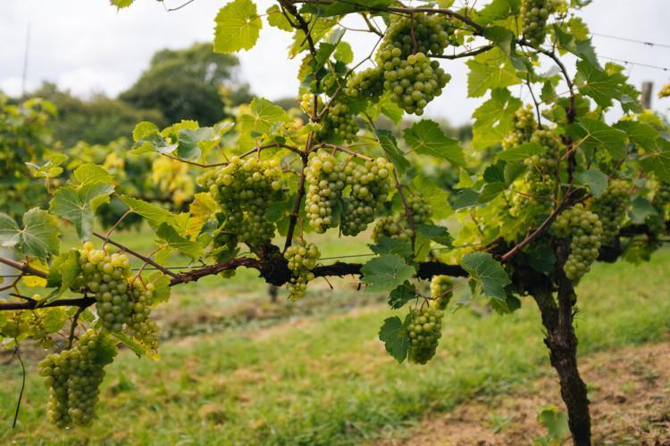 Abergavenny vineyard