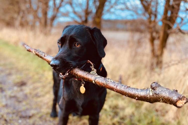 black lab maggie with stick