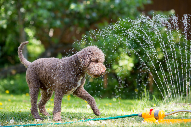 Dog in hot weather