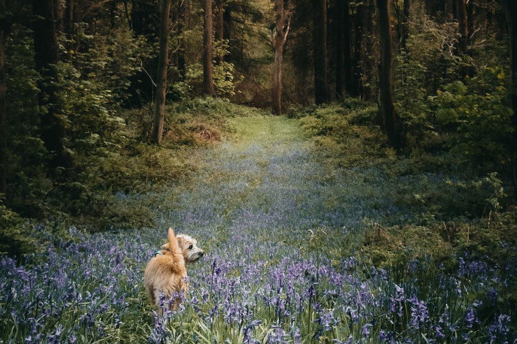 Ronnie in the bluebells in Pretty Wood, a short walk from our house.