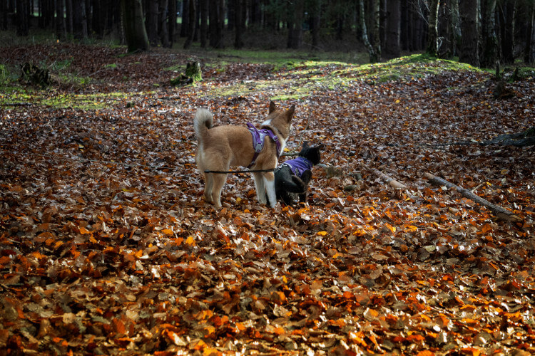 Talyn and Jormi on a walk in Thetford Forest