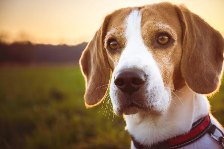 Beautiful beagle dog looks past the camera at sunset