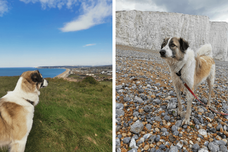 A clifftop view and a walk on the pebble beach for Barrie the Anatolian Shepherd