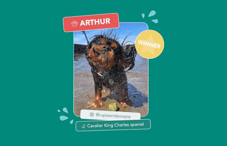 The winning wet dog, Arthur the Cavalier King Charles Spaniel