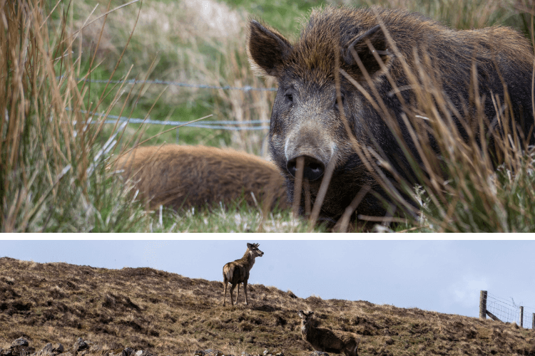 Boars and deer in the surrounding area