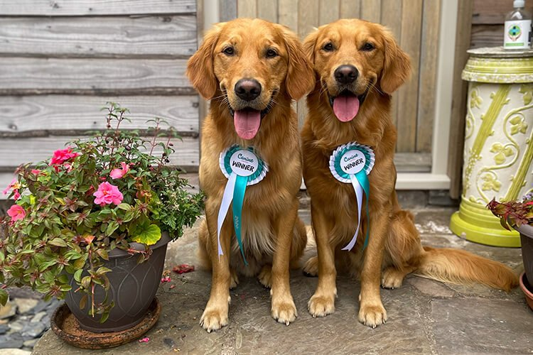 Fredrick and Royston, the golden retrievers