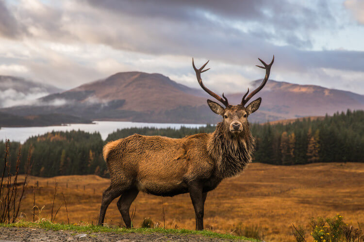Red deer stag, Scotland