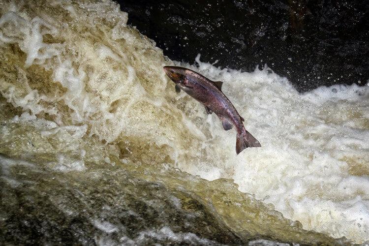 An Atlantic Salmon jumping upstream