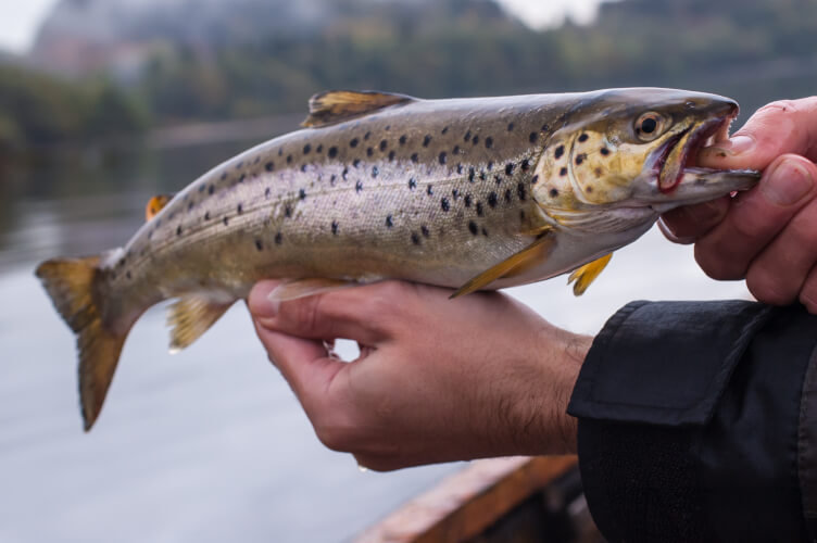 You will find Brown Trout in the rivers and lochs of Scotland