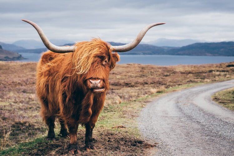 The Scottish local, the Highland cow