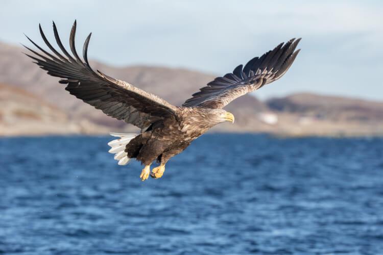 A white tailed eagle soaring over the sea, Scotland