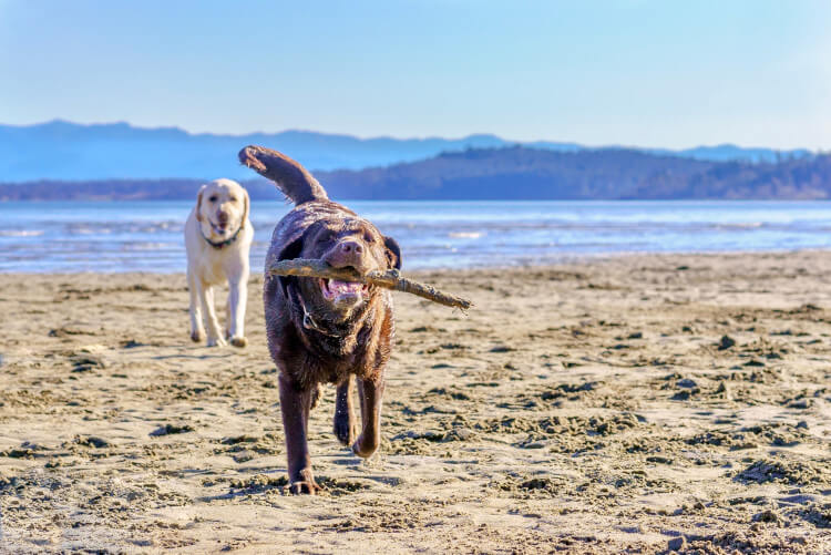 Dogs run and play on the beach