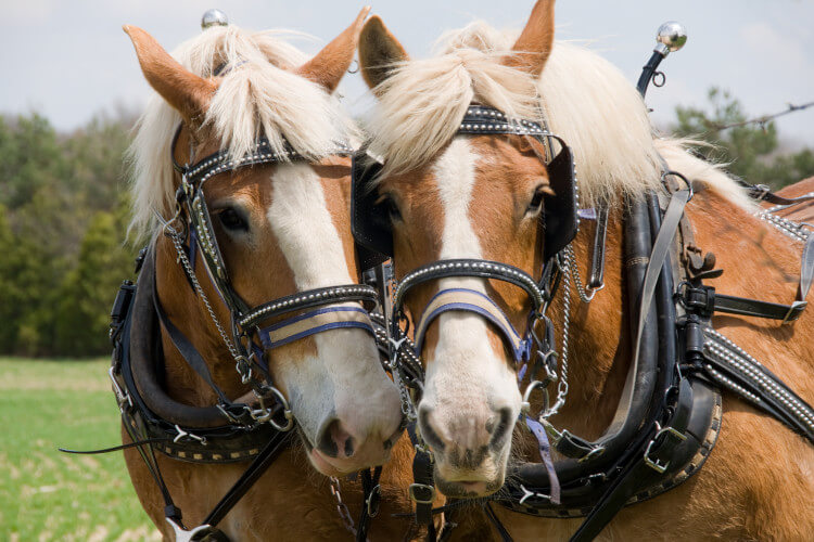 Admire the heavy horses at the Scottish Highland Show