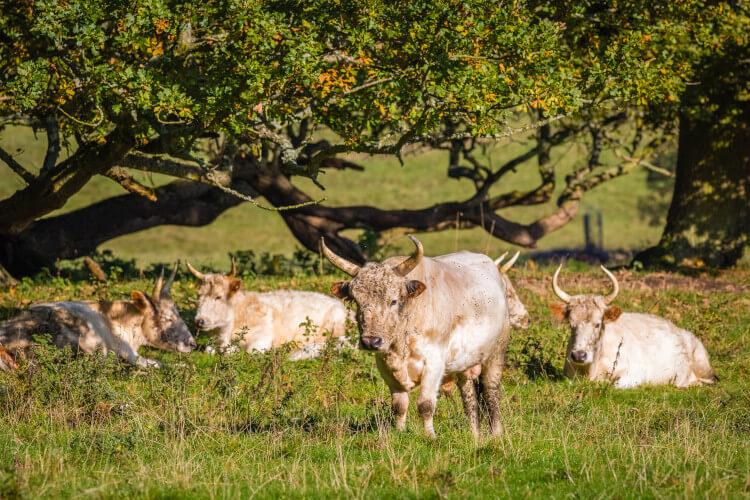 Chillingham wild cattle, Northumberland