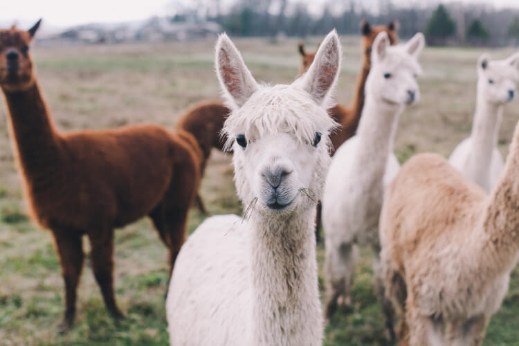 Keep an eye out for Alpacas in the Glendale Show