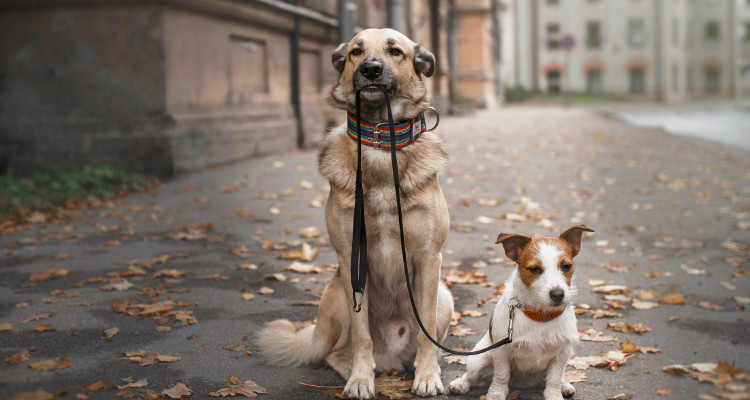 Dogs waiting with leads for walk