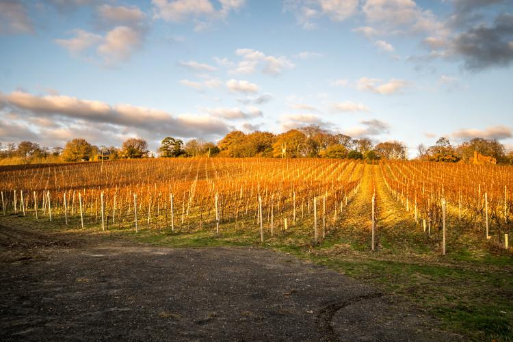 Vineyard in the UK