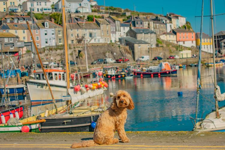 Poppy the 2018 Canine Critic in Cornwall