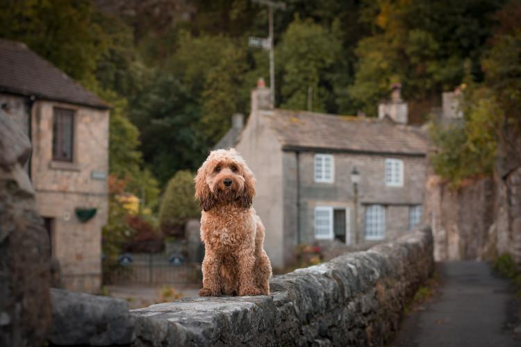 Poppy the 2018 Canine Critic in the Peak District
