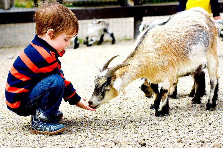 Child at farm with goat