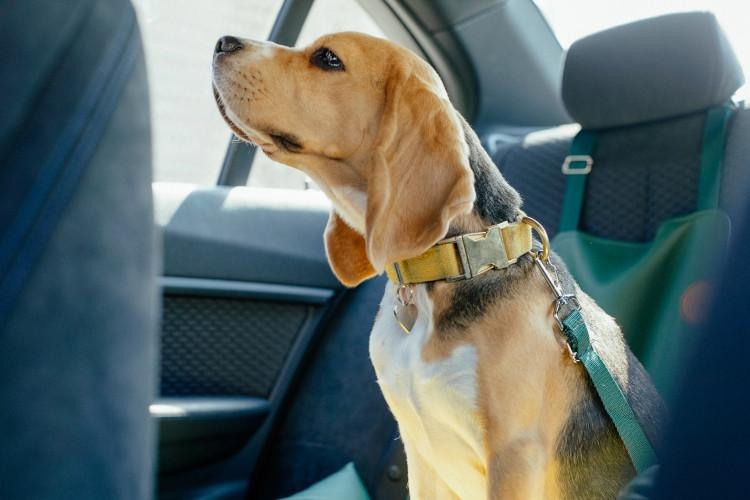 Dog in car with seatbelt