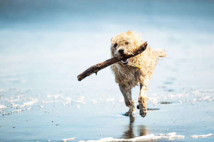 Dog carrying stick on beach
