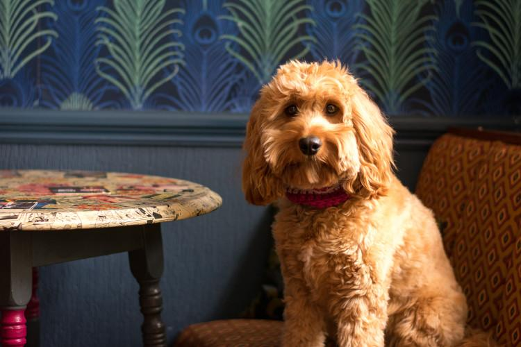 Poppy relaxing in a local pub