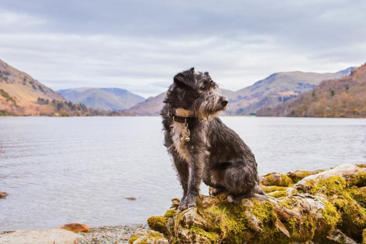 Dog at Derwent Water in the Lake District, UK