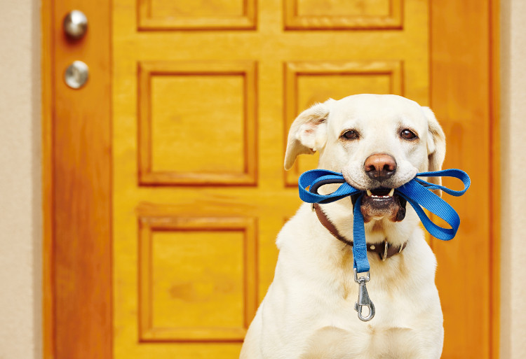 Dog with a lead in his mouth ready to go for a walk