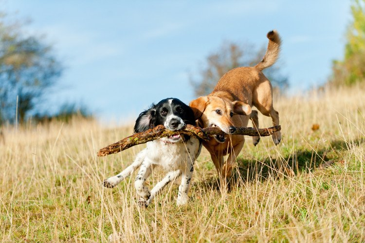 Two dogs playing with a stick together