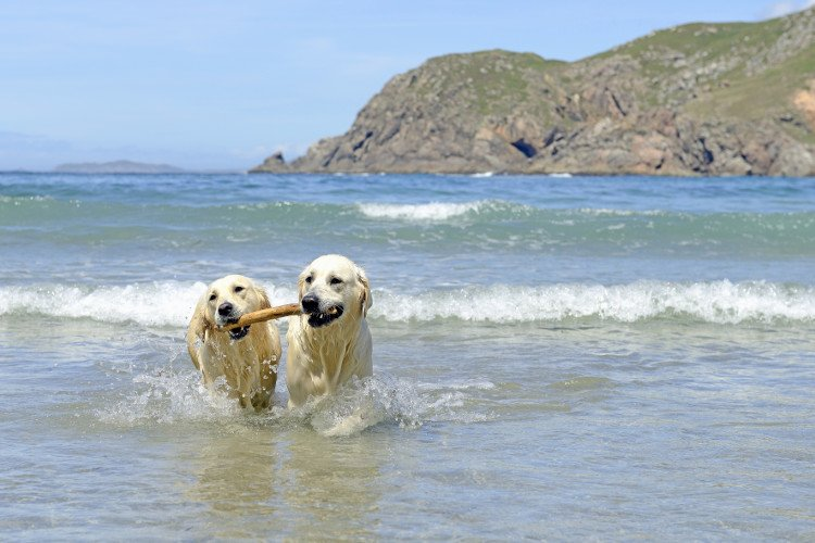 2 golden retrievers playing with a stick in the sea at the beach