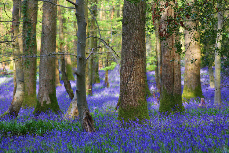 Bluebell woods in the Cotswolds