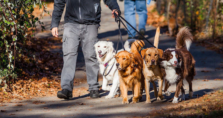 A pack of 4 dogs on the lead out for a walk