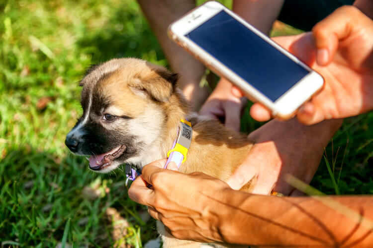 A dog having its microchip checked with a mobile phone